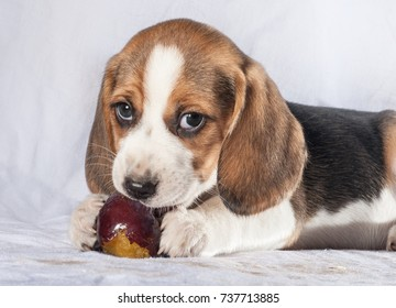 Beagle puppy eating plum on grey sofa