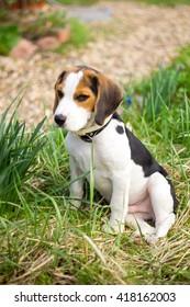 Beagle puppy in the garden.