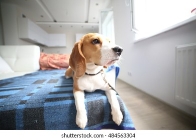 Beagle puppy lay on carpet at home