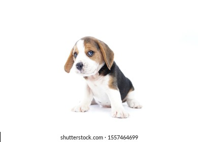 Beagle puppy looking forward and sitting on isolated white background.picture have copy space for text or advertisement