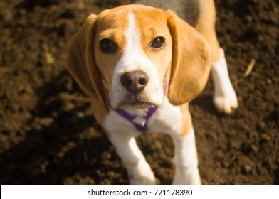 Beagle puppy looking at you while walkin in the yard