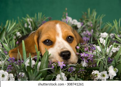 Beagle puppy lying in lavender field