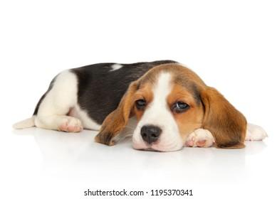 Beagle puppy lying on white background. Animal themes