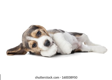 beagle puppy lying on a white background in studio
