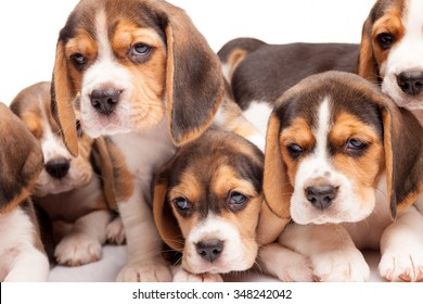 Beagle puppy lying on the white background among other sleeping puppies