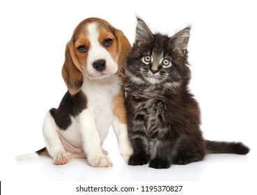 Beagle puppy and Maine-coon kitten on white background. Baby animal theme