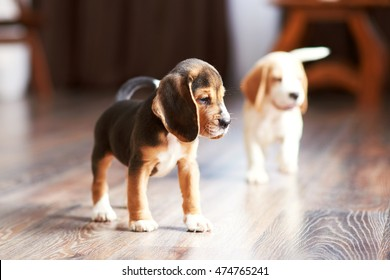 Beagle puppy playing at home on a hardwood floor. Place for text