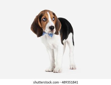 Beagle puppy portrait on a white background