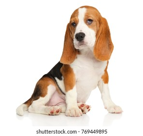 Beagle puppy posing on a white background