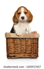 Beagle puppy posing in wicker basket on white background. Baby animal theme