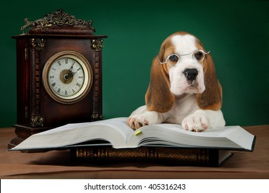 beagle puppy is reading