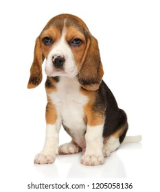 Beagle puppy sits on a white background. Baby animal theme