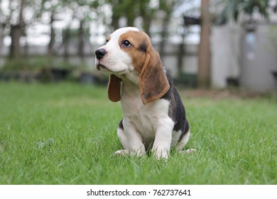 Beagle puppy sitting on grass,morning,sunny dog Beagle early in the morning at sunrise,Seven weeks old cute little beagle puppy,cute dog lying on green grass, Portrait dog,beagle puppy dog looking up