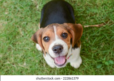 Beagle puppy sitting on green grass