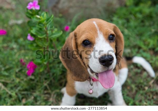 Beagle puppy sitting on green grass