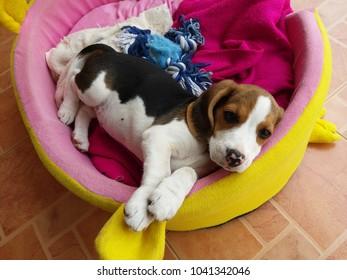 beagle puppy sleep on the bed