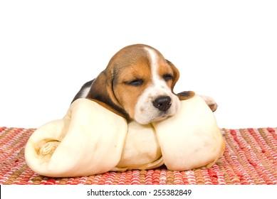 Beagle puppy sleeping on large rawhide dog bone on white background
