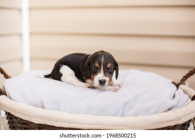 Beagle puppy snuggles on a gray blanket in a cozy basket