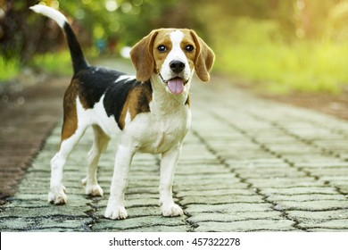beagle puppy standing on the walkway in public park with sunlight