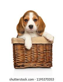 Beagle puppy in wicker basket on white background. Baby animal theme