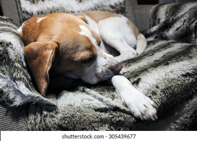 Beagle resting comfortably in old armchair