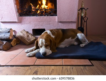 Beagle is resting on the floor near the old fireplace . Fireplace with burning wood .