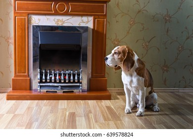 Beagle is resting on the wooden floor near the fireplace .