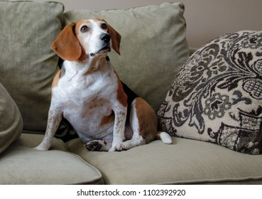 A Beagle sitting on a couch