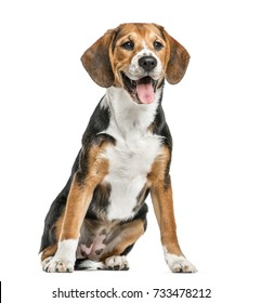 Beagle sitting and panting, isolated on white