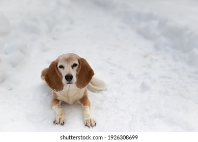 Beagle sitting in the snow looking cute