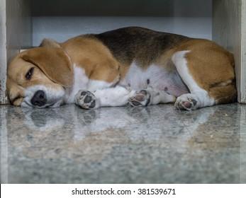 Beagle sleeping under wooden desk