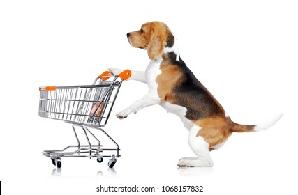 Beagle standing on hind legs in a studio holding shopping cart