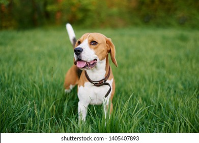 The beagle stands in the grass with his tongue sticking out. Breed dog portrait. Happy Dog on the walk in the park.