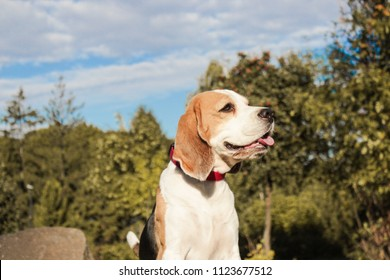 beagle in a summer park for a walk