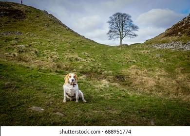 Beagle at Sycamore Gap, Northumberland, England