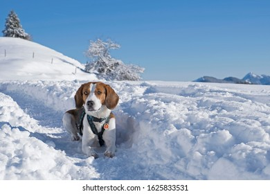Beagle takes a winter hike with snow in the Tegernsee Alps