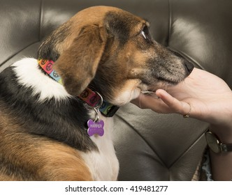 Beagle wearing collar looks on adoringly as woman's hand cradles her chin with leather sofa in the background
