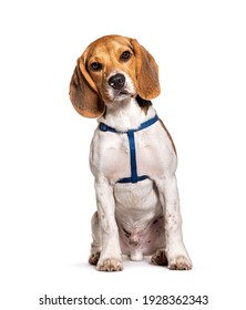 Beagle wearing an harness isolated on white