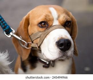 Beagle, working dogs for hunting and used by custom officers and police as sniffer or detector dogs for drugs and illegal contraband.