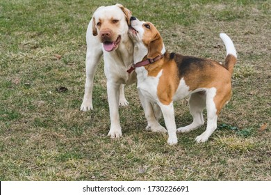 a beagle and a yellow labrador play with each other in the garden during the day