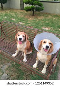 Beagles with vet plastic Elizabethan collar in a swing.