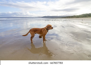 A Beaglier plays on the beach (cross between a Beagle and a King Charles Spaniel)