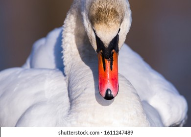Beak of a Mute Swan (Cygnus Olor) close up. Bird front portrait