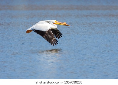 Beak pointed forward, black tipped feathers positioned downward, a single American white pelican glidess across rippling blue water.