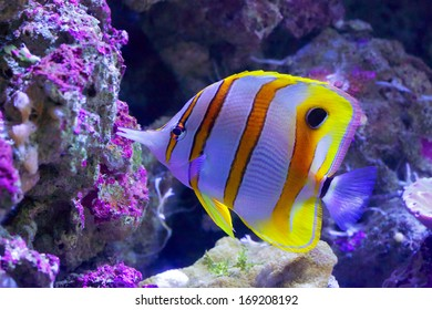 Beaked Coralfish swimming at Great Barrier Reef