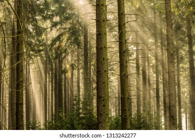 Beams of light in the fir forest with mystical mood