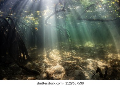 Beams of sunlight fall into a dark mangrove forest where tangled prop roots provide habitat for fish and invertebrates. Mangroves are ecologically important habitats often considered as nurseries.