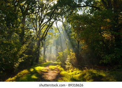 Beams of sunlight pouring through the branches of the forest trees