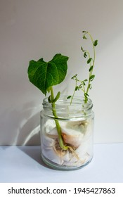 bean plant growing in a glass jar, planted at home with cotton wool, on white background.
