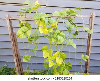 bean plant or vine growing on wood lattice